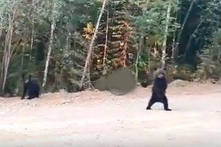 Спасаясь от огня, медведи бегут из красноярской тайги