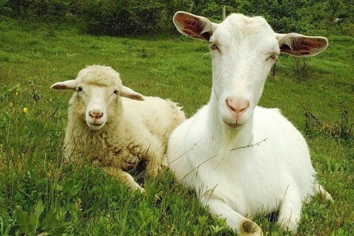 В Хакасии сокращается количество овец и коз