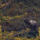В Алтайском биосферном заповеднике сняли на ВИДЕО вабление марала